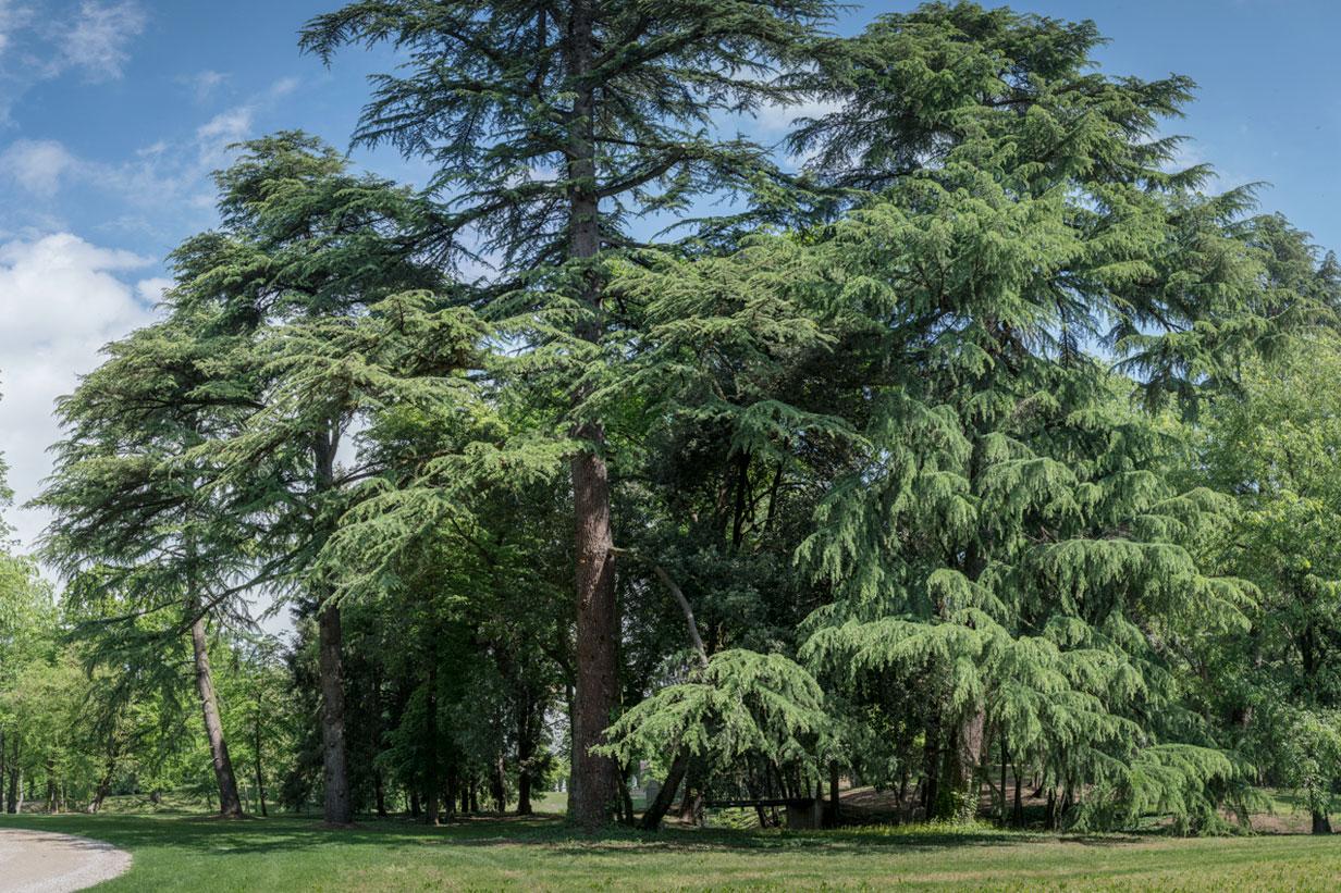 Villa Parco Bolasco - Cedro Himalaya