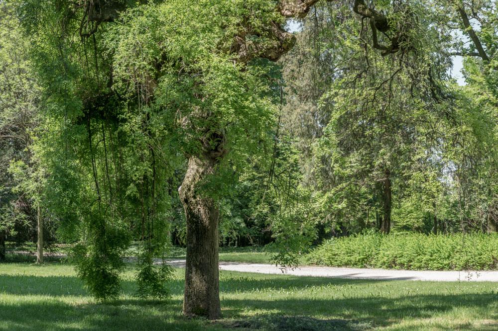 Villa Parco Bolasco - Sofora Pendula